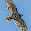 Red-Tailed Hawk in Flight 6/7/16