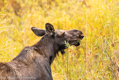 Female moose surrounded by Fall color