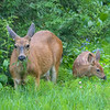Mule Deer Doe and Fawn