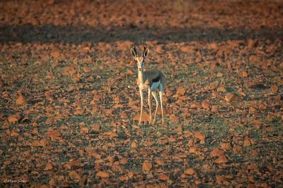 Springbok (spp. hofmeyri)