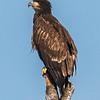 Juvenile Bald Eagle 7/20/17