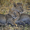 Sleepy Lion Cubs, Tanzania, East Africa