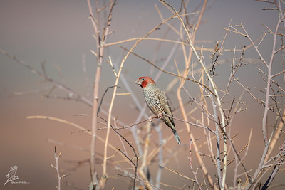 Finch, Red-headed (monotypic)