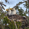 Bald Eagle Pair in Nest