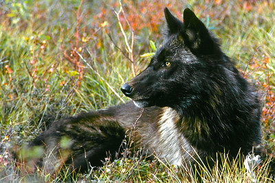 Gray Wolf (black phase).