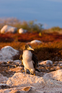 Juvenille Blue-footed Booby