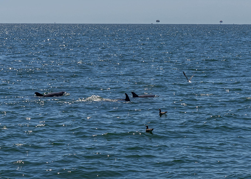 Dolphins-017