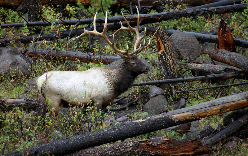 Bull Elk in Rut near Madison River - Yellowstone National Park