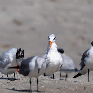 Royal terns at Cocoa Beach