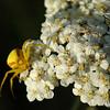 Golden Rod Spider