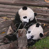 Two Black and White Panda Cubs at play