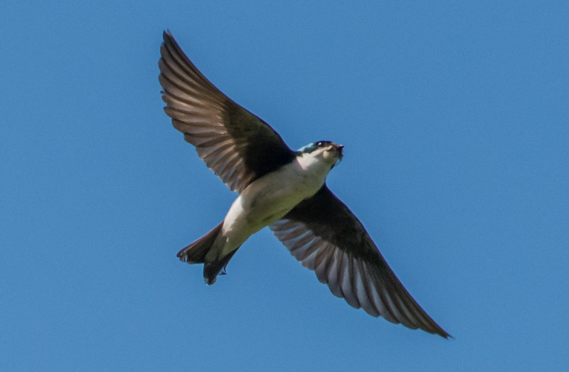 Tree Swallow 6/21/16