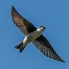 Tree Swallow 6/21/16