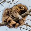 Raccoon Sleeping in a Tree 4/10/17