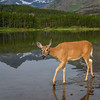 Deer at Fishercap Lake, Many Glacier, Glacier National Park, Montana