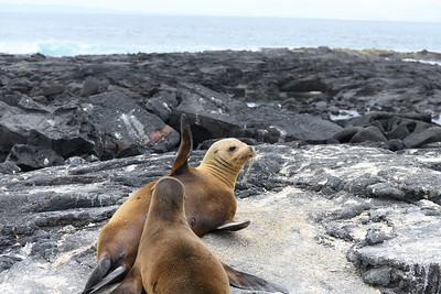 A mother Sea Lion appears to wave as she nurses her pup