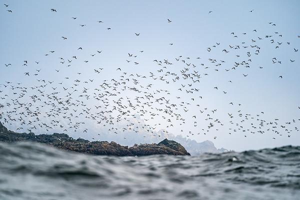 Murre Migration