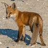 A Red Fox Kit 5/18/21