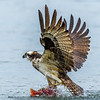 The Struggle, Osprey Catching Kokanee Salmon