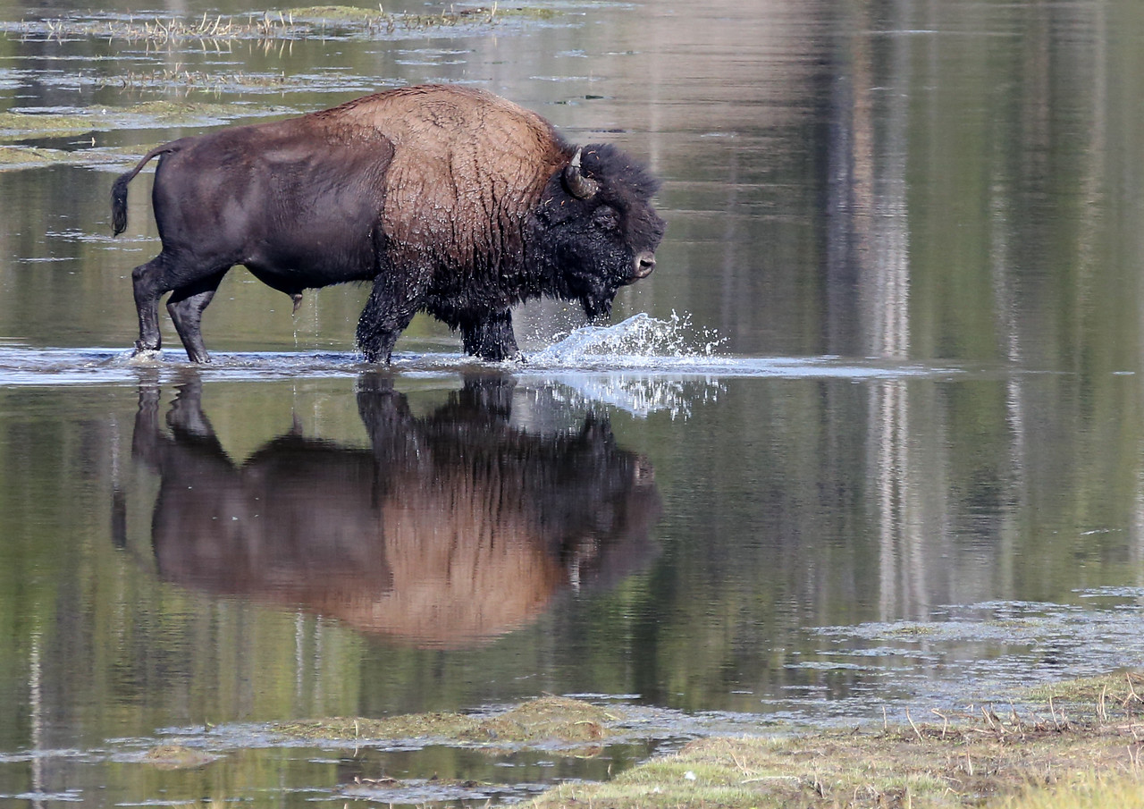 Bison Reflection - Yellowstone National Park