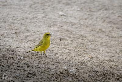 Canary, Brimstone (spp. sharpii)