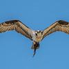 An Osprey In Flight 6/15/16