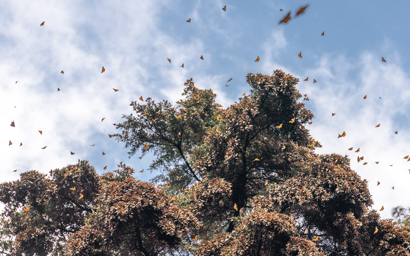 Monarch butterflies during the annual migration, Michoacán, Mexico.