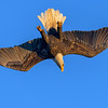 Eagle In Steep Inverted Dive
