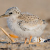 Least Tern Chick 6/27/16