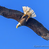 Bald Eagle and Blue Sky