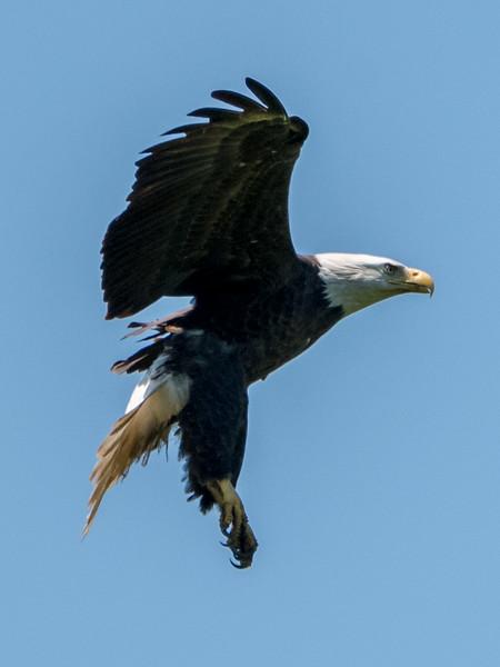 Bald Eagle Landing 6/9/17