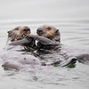 Sea Otter Pup Trys to Take Clam from Mother