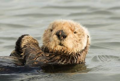 Elder otter