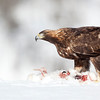 Golden Eagle on Arctic Hare