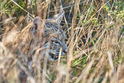 Bobcat at Point Reyes