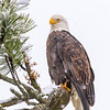 Bald Eagle On Snowy Morning