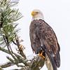 Bald Eagle On Snowy Morning