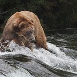 Huge Grizzly bear on the banks of Alaska's Brooks Falls, waiting for the salmon to jump
