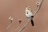 Song Sparrow — Singing