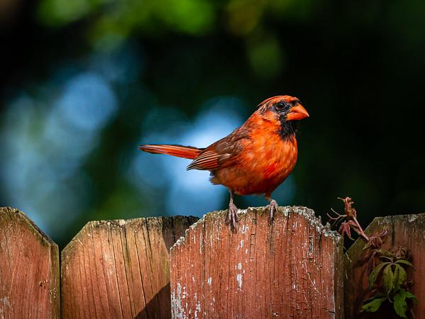 Northern Cardinal Striking a Pose