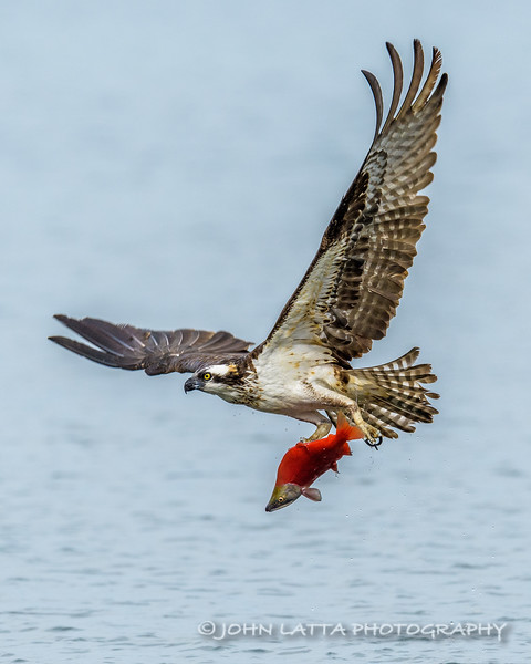 With Only One Foot, Osprey Catching Kokanee Salmon