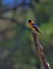 Black-headed Grosbeak Pamper Pole