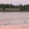 Trumpeter Swans Prepare to Fly