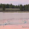 Trumpeter Swan Flock Prepares to Fly