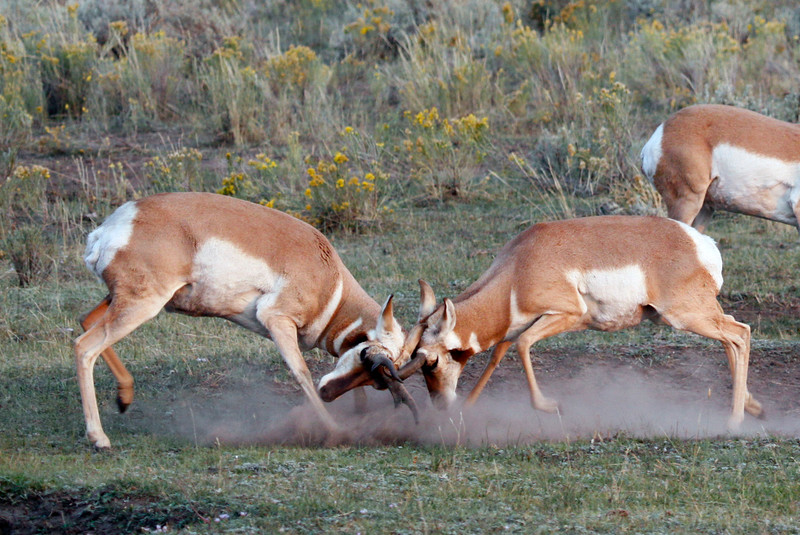 Pronghorns Sparring - Yellowstone National Park