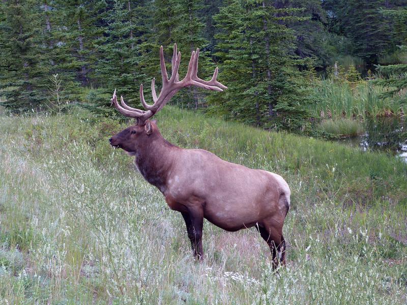 Bull Elk | 16 Point - Jasper National Parks