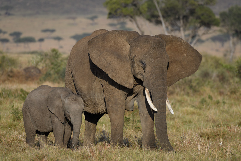 Mother and baby elephant, Masai Mara, Kenya, East Africa. These incredibly beautiful animals are threatened by habitat loss and ivory poaching.