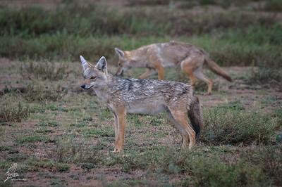 Wolf, African Golden (spp. bea)