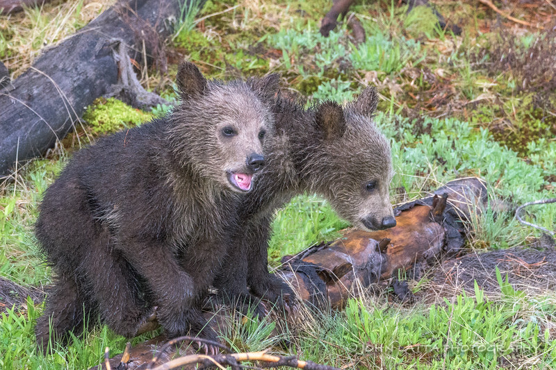 Two Grizzly Bear Cubs