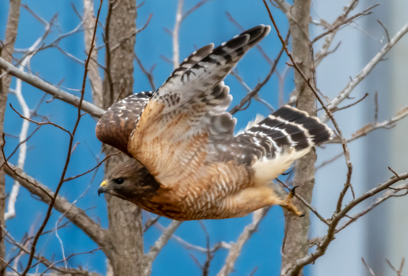 Red-Shouldered Hawk Taking Off 1/23/19